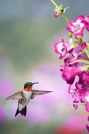 https://imgc.artprintimages.com/img/print/ruby-throated-hummingbird-at-a-penstemon-marion-illinois-usa_u-l-prq1gb0.jpg?p=0
