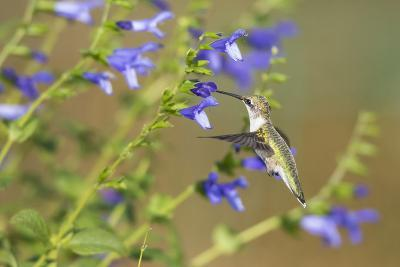 Ruby-Throated Hummingbird at Blue Ensign Salvia, Marion County, Il-Richard and Susan Day-Photographic Print