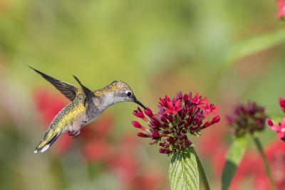 Ruby-Throated Hummingbird at Red Pentas in Marion County, Illinois-Richard and Susan Day-Photographic Print