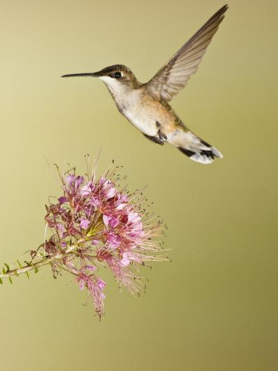 Ruby-Throated Hummingbird Feeding at Rocky Mountain Bee Plant Flower, South Texas, USA-Larry Ditto-Photographic Print