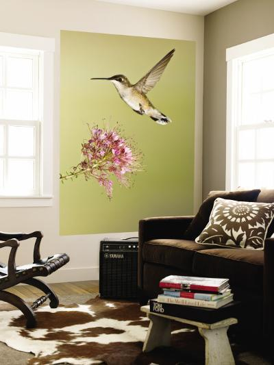 Ruby-Throated Hummingbird Feeding at Rocky Mountain Bee Plant Flower, South Texas, USA-Larry Ditto-Wall Mural