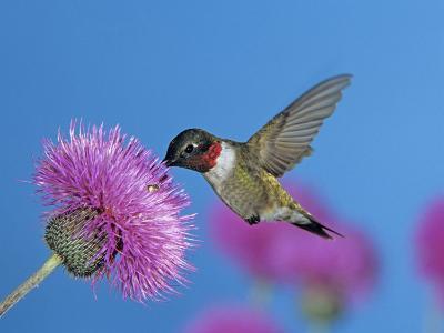 Ruby Throated Hummingbird, Feeding from Flower, USA-Rolf Nussbaumer-Photographic Print