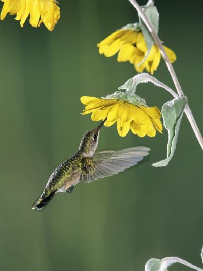 Ruby Throated Hummingbird, Female Feeds at Sunflower, Texas, USA-Rolf Nussbaumer-Photographic Print