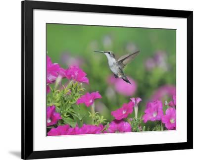 Ruby-throated Hummingbird female in flight feeding, Hill Country, Texas, USA-Rolf Nussbaumer-Framed Photographic Print