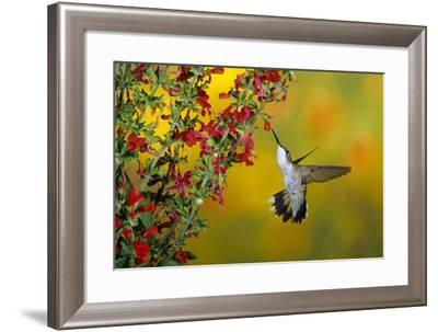 Ruby-Throated Hummingbird Female on Lady-In-Red Salvia, Shelby County, Illinois-Richard and Susan Day-Framed Photographic Print