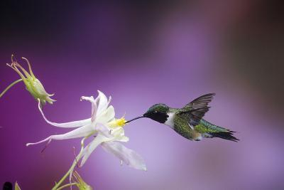 Ruby-Throated Hummingbird Female on Mckana's Hybrid Columbine, Shelby County, Illinois-Richard and Susan Day-Photographic Print