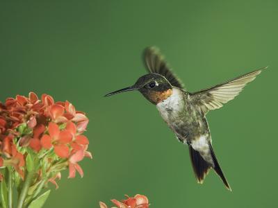 Ruby-Throated Hummingbird in Flight Feeding on Kalanchoe Flower, New Braunfels, Texas, USA-Rolf Nussbaumer-Photographic Print
