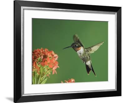 Ruby-Throated Hummingbird in Flight Feeding on Kalanchoe Flower, New Braunfels, Texas, USA-Rolf Nussbaumer-Framed Photographic Print