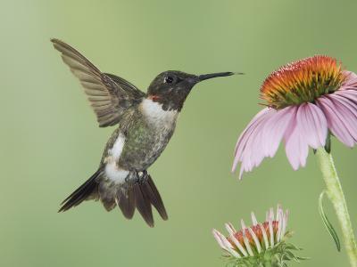 Ruby-Throated Hummingbird in Flight Feeding on Purple Coneflower, New Braunfels, Texas, USA-Rolf Nussbaumer-Photographic Print
