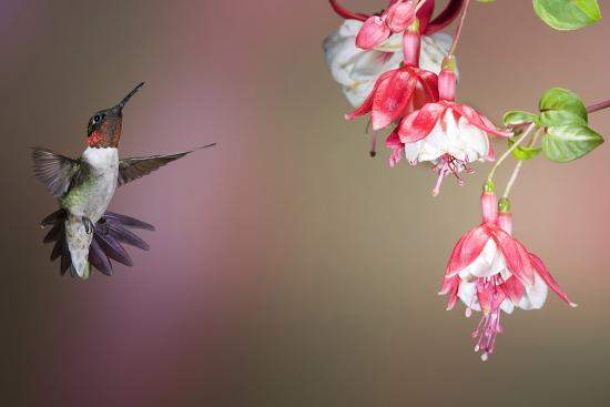 Ruby-Throated Hummingbird Male at Fuschia, Marion, Illinois, Usa-Richard ans Susan Day-Photographic Print