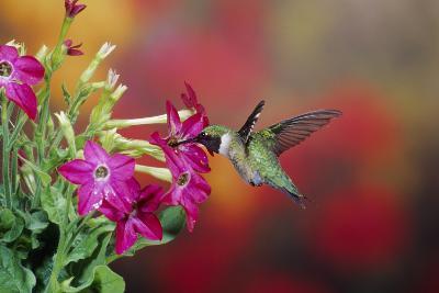 Ruby-Throated Hummingbird Male at Hummingbird Rose Pink Nicotiana, Illinois-Richard and Susan Day-Photographic Print