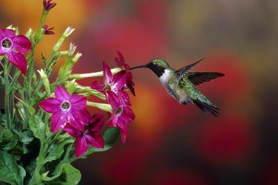 Ruby-Throated Hummingbird Male at Winged Tobacco, Illinois-Richard and Susan Day-Photographic Print