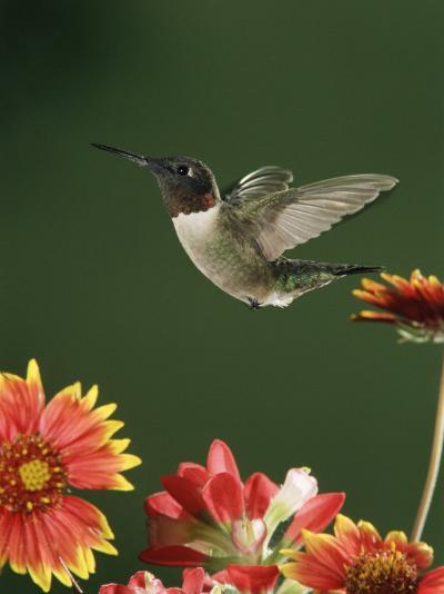 Ruby Throated Hummingbird, Male Flying, Texas, USA-Rolf Nussbaumer-Photographic Print