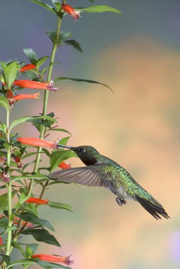 Ruby-Throated Hummingbird Male on Cigar Plant, Marion County, Illinois-Richard and Susan Day-Photographic Print