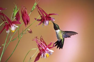 Ruby-Throated Hummingbird Male on Crimson Star Columbine, Illinois-Richard and Susan Day-Photographic Print