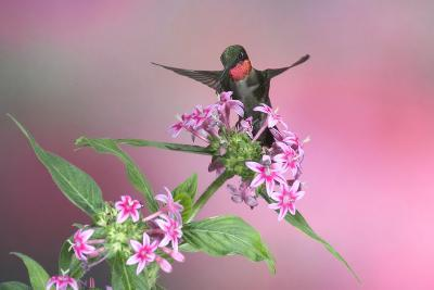 Ruby-Throated Hummingbird Male on Pink Pentas. Marion, Illinois, Usa-Richard ans Susan Day-Photographic Print
