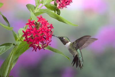Ruby-Throated Hummingbird Male on Red Pentas, Marion County, Illinois-Richard and Susan Day-Photographic Print