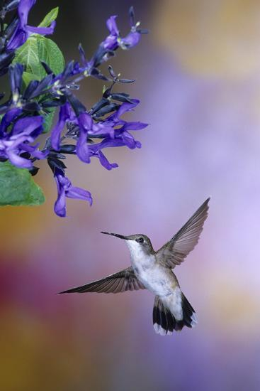 Ruby-Throated Hummingbird on Black and Blue Salvia, Illinois-Richard and Susan Day-Photographic Print