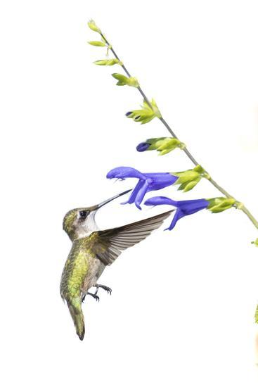 Ruby-Throated Hummingbird on Blue Ensign Salvia on White Background, Marion County, Illinois-Richard and Susan Day-Photographic Print