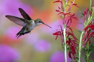 Ruby-Throated Hummingbird on Cardinal Flower, Marion County, Illinois-Richard and Susan Day-Photographic Print