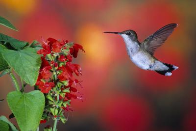 Ruby-Throated Hummingbird on Scarlet Sage Marion County, Illinois-Richard and Susan Day-Photographic Print