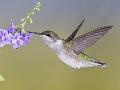 Ruby-Throated Hummingbird, Texas, USA-Larry Ditto-Photographic Print