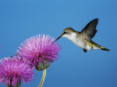 Ruby-Throated Hummingbird, Welder Wildlife Refuge, Sinton, Texas, USA-Rolf Nussbaumer-Photographic Print
