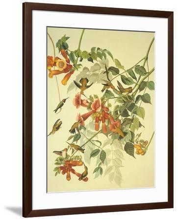 Ruby-Throated Hummingbird-John James Audubon-Framed Premium Giclee Print
