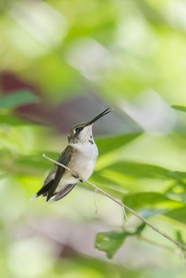 Ruby-Throated Hummingbird-Gary Carter-Photographic Print
