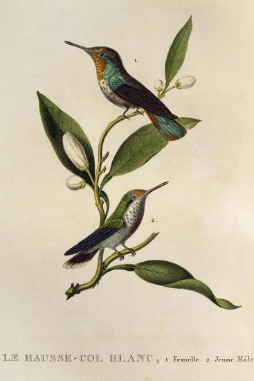 Ruby-Topaz Hummingbird Female and Young Male (Chrysolampis Mosquitus)--Giclee Print