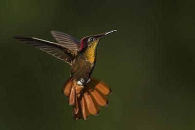 Ruby Topaz Hummingbird-Ken Archer-Photographic Print