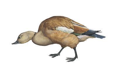 Ruddy Shelduck (Casarca Ferruginea), Duck, Birds-Encyclopaedia Britannica-Art Print