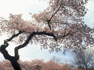 Cherry Tree, Branch Brook Park, NJ by Rudi Von Briel