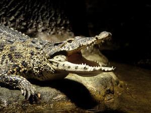 Cuban Crocodile, Bronx Zoo, NY by Rudi Von Briel
