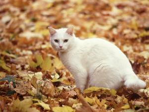White Cat in Autumn Leaves by Rudi Von Briel