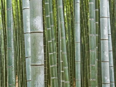 Bamboo Forest in Sagano