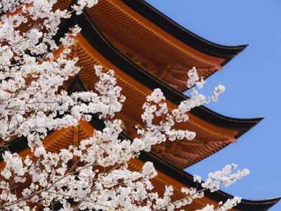 Cherry Blossoms at Itsukushima Jinja Shrine