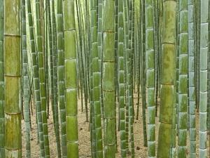 Sagano Bamboo Forest in Kyoto by Rudy Sulgan