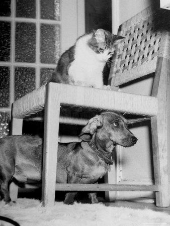 https://imgc.artprintimages.com/img/print/rudy-the-dachshund-and-trudy-the-cat-engaged-in-hide-and-seek-or-pounce-on-the-dog_u-l-p47h940.jpg?p=0