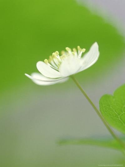 Rue Anemone, Anemonella Thalictroides Flower, Great Smoky Mtn National Park, TN-Adam Jones-Photographic Print