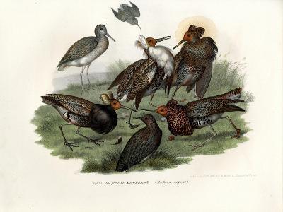 Ruff, 1864--Giclee Print