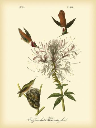 https://imgc.artprintimages.com/img/print/ruff-neck-hummingbird_u-l-pfr4bq0.jpg?p=0