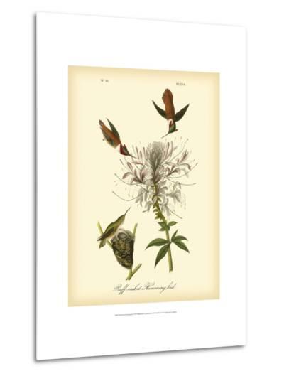 Ruff-neck Hummingbird-John James Audubon-Metal Print