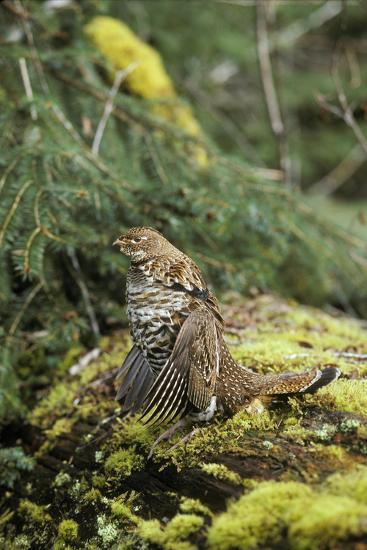 Ruffed Grouse Drumming (Spring Mating-Territorial Display)--Photographic Print