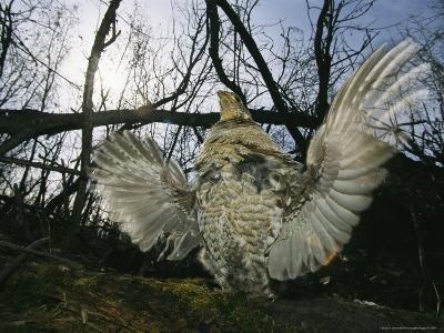 Ruffed Grouse Spreading His Wings in a Display-Michael S^ Quinton-Photographic Print
