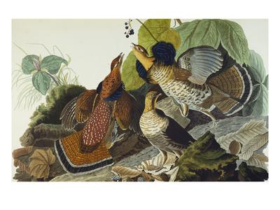 https://imgc.artprintimages.com/img/print/ruffed-grouse-tetrao-umbellus-plate-xli-from-the-birds-of-america_u-l-pemmo10.jpg?artPerspective=n