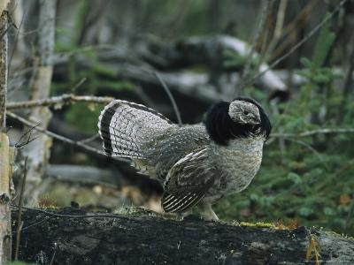 Ruffed Grouse Walking Along a Fallen Tree Trunk-Michael S^ Quinton-Photographic Print