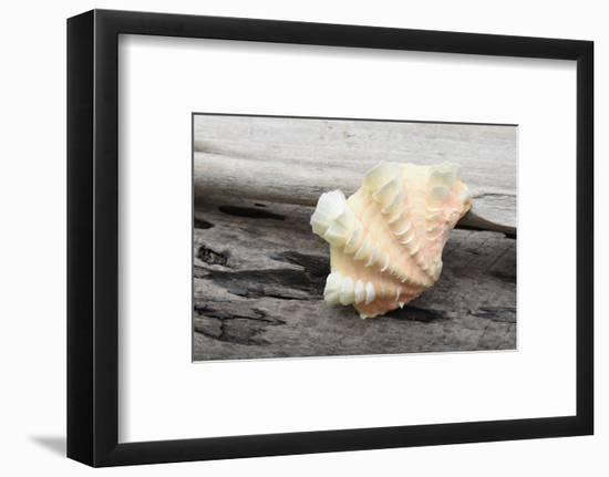 Ruffled Clam shell - Tridacna Squamosa-Savanah Plank-Framed Photographic Print