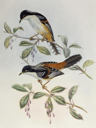 Rufous-Backed Sibia (Heterophasia Annectans)-John Gould-Giclee Print