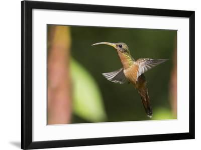 Rufous-Breasted Hermit-Ken Archer-Framed Photographic Print